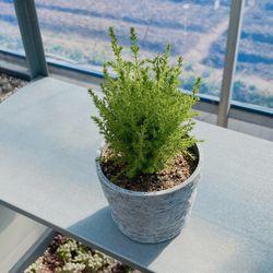공기정화 식물 율마 화분키우기