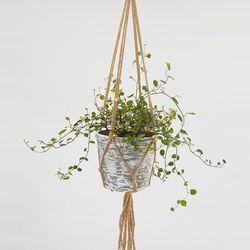 행잉 플랜트 공기정화 식물 트리안 키우기