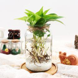 형광스킨답서스 수경재배 키우기 세트 공기정화식물