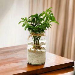 홍콩야자 수경재배 키우기 세트 공기정화식물 가습