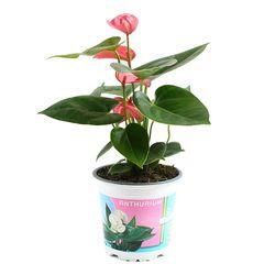 안시리움 핑크 1포트 - 공기정화식물 거실화분