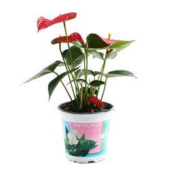 안시리움 레드 1포트 - 공기정화식물 거실화분