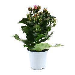 카랑코에 1포트 - 공기정화식물 거실화분 플랜테리어