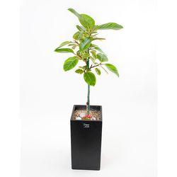 FN5717 뱅갈고무나무 높이 90-95cm