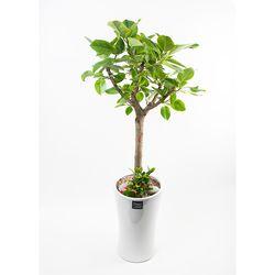 FN5719 뱅갈고무나무 높이 155-160cm