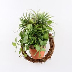리스 디시디아 수염 틸란드시아 (공기정화식물)