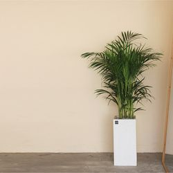 [공기정화식물집들이선물] 아레카야자