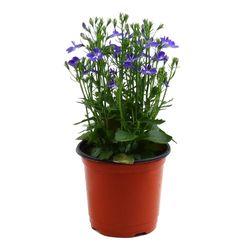 미미네가든 로벨리아 1포트 -공기정화식물 거실화분