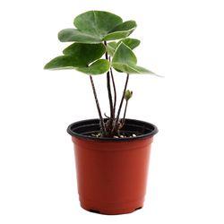 미미네가든 섬노루귀 1포트 -공기정화식물 거실화분