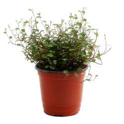 미미네가든 트리안 1포트 - 공기정화식물 거실화분