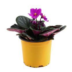 미미네가든 바이올렛 1포트 - 공기정화식물 거실화분