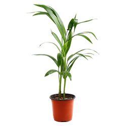 미미네가든 아레카야자 1포트 -공기정화식물 거실화분