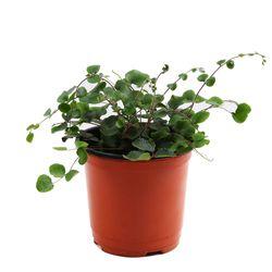 미미네가든 단추고사리 1포트 -공기정화식물 거실화분