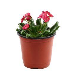 미미네가든 레위시아 1포트 - 공기정화식물 거실화분