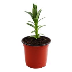 미미네가든 나팔백합 1포트 - 공기정화식물 거실화분