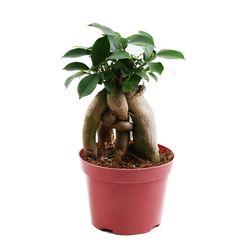 미미네가든 인삼펜다 1포트 - 공기정화식물 거실화분