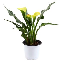 미미네가든 카라 (옐로우) 1포트 - 공기정화식물 화분
