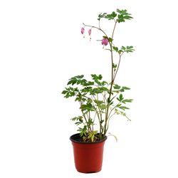 미미네가든 금낭화 1포트 - 화분 공기정화식물 야생화