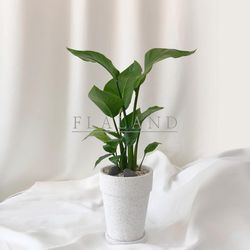 받침풀세트 개업식물 공기정화식물 극락조 테라조 롱 원띠 화분