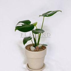 플라랜드 공기정화식물 중대형 몬스테라 나폴리 기본 원형토분
