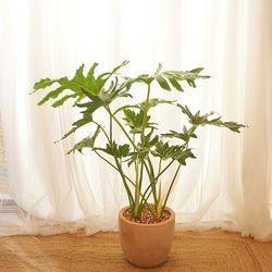 시원한 물결잎 셀렘 대형 화분