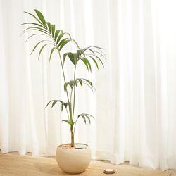 늘어지는 잎이 고급스러운 겐차야자 대형 화분