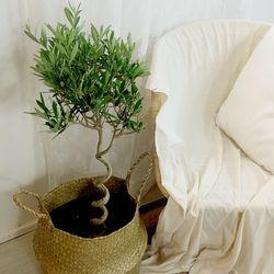 인테리어 감성식물 컬링 자가수정 올리브(씨프레시노)나무