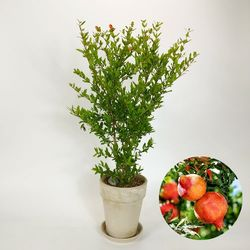 인테리어 감성 과실수 석류나무 중+유러피안 토분
