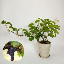 인테리어 감성 과실수 산포도(머루)나무 중+유러피안 토분