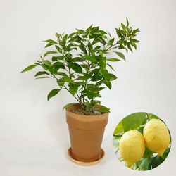 인테리어 감성 과실수 오리지널 레몬나무 중+유러피안 토분