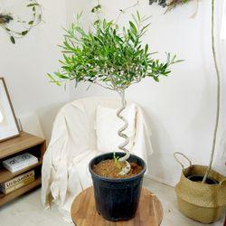 씨프레시노 올리브나무기본포트