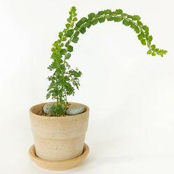 감성식물 프라비시마 아카시아데로마리시오