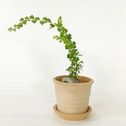 감성식물 프라비시마 아카시아데로마빈티지
