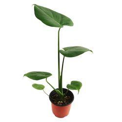 미미네가든 몬스테라 (소) 1포트 - 공기정화식물