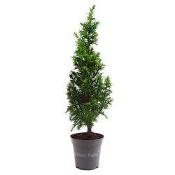 미미네가든 미니 편백나무 화분 1포트 - 피톤치드