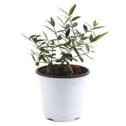 미미네가든 올리브나무 1포트 -  거실화분 반려식물