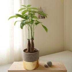 [plant] 공기정화식물 파키라 골드식물화분set