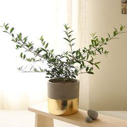 [plant] 생화 올리브나무 골드화분set