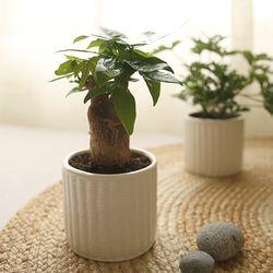[plant] 행복한우리집 파키라 식물화분set