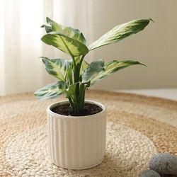 [plant] 새집증후군에효과 마리안느 식물화분set