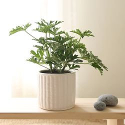 [plant] 천연모기향효과 허브 구문초 식물화분set