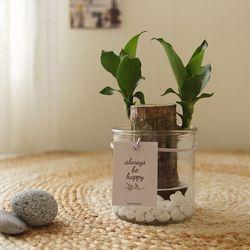 [수경식물] 행운을부르는 행운목 유리화병세트