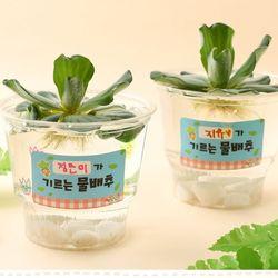물배추기르기(4개)수경재배식물키우기식물키트