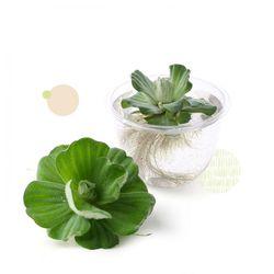 물배추(5개)수경재배식물수생식물키우기부상수초