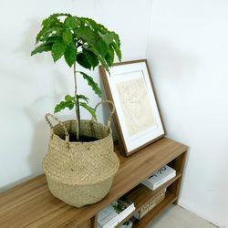 아라비카 커피나무중