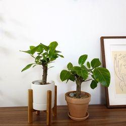 귀여운 몽당 벵갈고무나무소