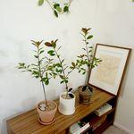 배롱나무 핑크벨루어중