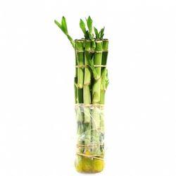 수경식물)개운죽30cm 10개밴딩-수질정화 테라리움용 공기정화
