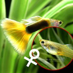 열대어)하프 블랙 옐로우 구피 암컷 2마리-애완물고기