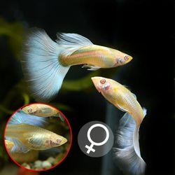 열대어)알비노 스카이블루 구피 암컷 2마리-애완물고기